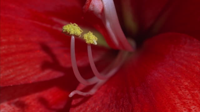 the stamen quivers inside an amaryllis. available in hd. - stamen stock videos and b-roll footage