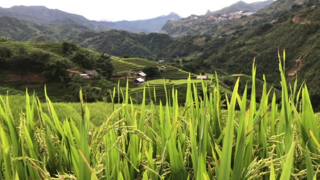 the step green rice field moving follow wind and mountain background sa pa,lao cai,vietnam - sa pa stock videos and b-roll footage