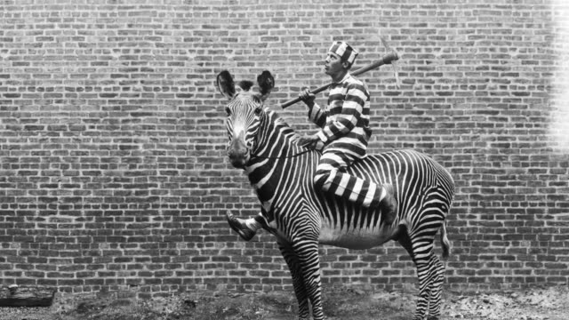 The striped uniform of a prisoner on a zebra blends with the zebra's stripes.