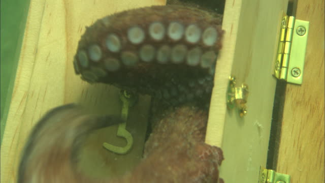 the suckered arms of an octopus push open the door of a wooden chest as it swims out into the ocean. - escaping stock videos & royalty-free footage
