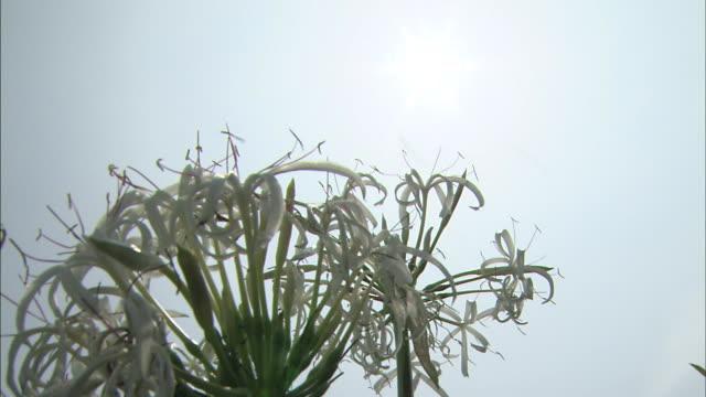 vídeos y material grabado en eventos de stock de the sun and the flowers    ms - hymenocallis caribaea
