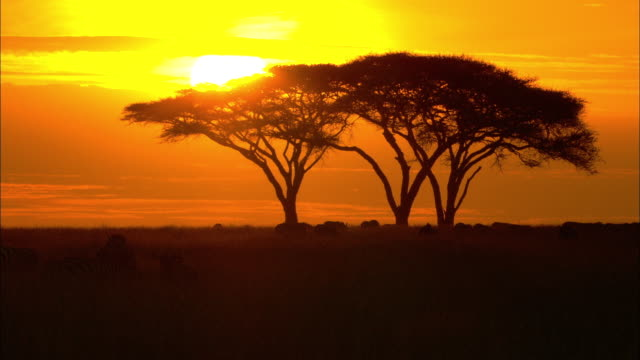 the sun sets behind silhouetted acacias and zebras on the serengeti in africa. - acacia tree stock videos & royalty-free footage