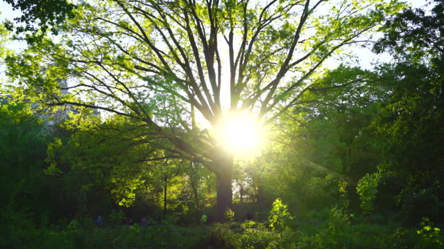 The sun sets behind the tall fresh green tree in Central Park New York. The sunset illuminates leaves, and people run on the park road at front of tree.
