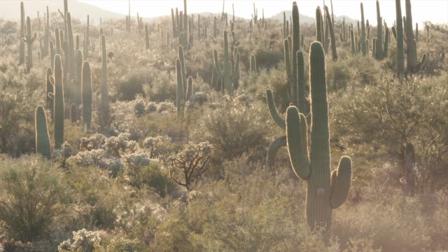 The sun sets over saguaro cactus in the Sonoran desert. Available in HD.
