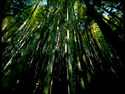 The sun shines down on a bamboo forest.