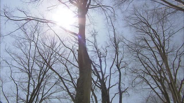 vídeos de stock, filmes e b-roll de the sun shines down on japanese beech in a snowy forest. - faia árvore de folha caduca