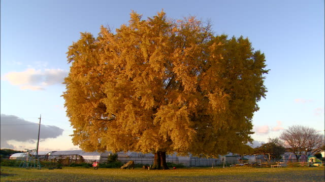 The sun shines on the orange leaves of a ginkgo tree.