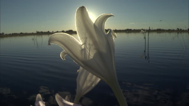 the sun shines over a lily on the banks of a river. available in hd. - lily stock videos & royalty-free footage