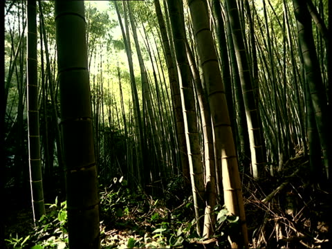 The sun shines through a dense bamboo forest.