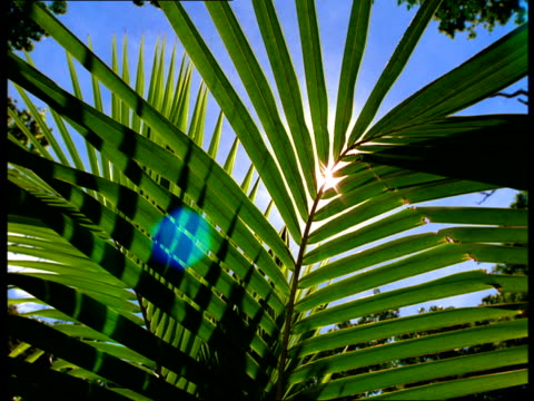 vídeos de stock e filmes b-roll de the sun shines through a palm frond waving in the wind. - folha de palmeira