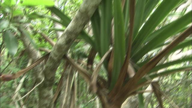 the sun shines through the leaves of a pandanus boninensis tree growing on chichi-jima island. - tropiskt träd bildbanksvideor och videomaterial från bakom kulisserna