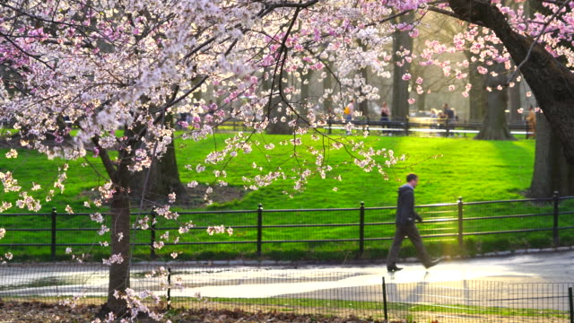 The sunset illuminates Cherry blossoms, and people walk on the pathway at Central Park New York. People walk down The Mall, which can be seen behind glowing Cherry blossoms and lawn.