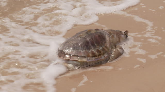 vidéos et rushes de the surf washes around a dead turtle on a beach. - tortue
