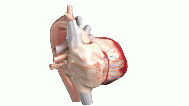 the surface anatomy of the heart - right auricle stock videos and b-roll footage