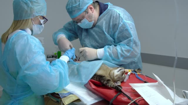 the surgery in the veterinary clinic. the team of two veterinary doctors, the man, surgeon, and the woman, nurse, sawing the cat in the operational room. - rubber glove stock videos & royalty-free footage