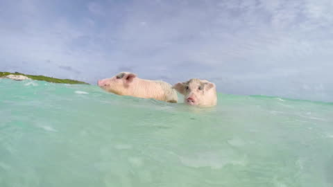 stockvideo's en b-roll-footage met the swimming pigs in major cay - swimming