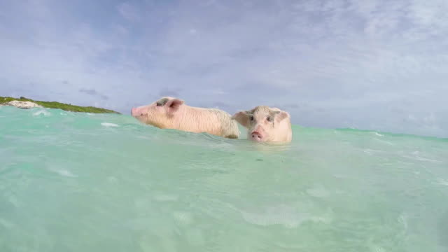 stockvideo's en b-roll-footage met the swimming pigs in major cay - bahama's