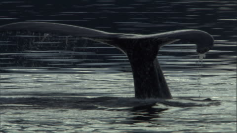 the tail fluke of a humpback whale sinks below the water's surface. available in hd. - tail stock videos & royalty-free footage