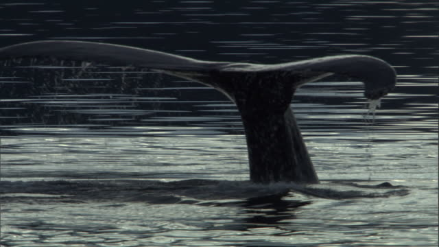 The tail fluke of a humpback whale sinks below the water's surface. Available in HD.