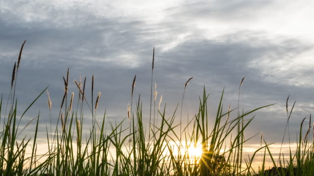 The tall grass in the rays of the sunset.