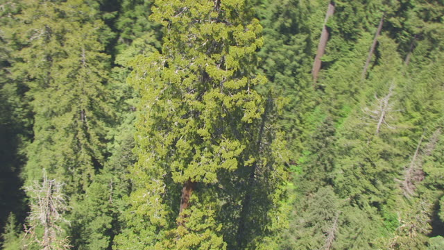 vídeos y material grabado en eventos de stock de ws zo aerial pov the tall trees grove in redwood national park, california - secoya