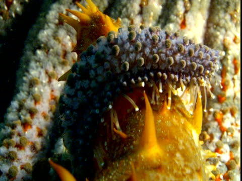 The tentacle of a sunflower sea star wraps around a sea cucumber.