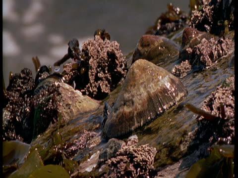 vídeos de stock, filmes e b-roll de the tide crashes on a limpet shell. - gastrópode