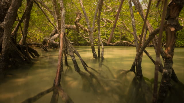 the tide goes out to reveal the roots of the mangrove forest in the tropics - tide stock videos & royalty-free footage