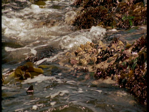 the tide washes kelp over limpet and barnacle-encrusted rocks. - kelp stock videos & royalty-free footage