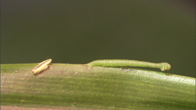 the tip of a plant prods an insect on a leaf and knocks it off near a predacious caterpillar. - 擬態点の映像素材/bロール