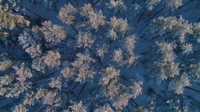 The top directly above aerial drone view to the winter forest and the crowns of pines covered by snow.