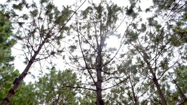 the top pine forest in the morning - branch plant part stock videos & royalty-free footage