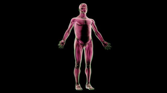 vídeos de stock, filmes e b-roll de the trapezius muscle - músculo humano