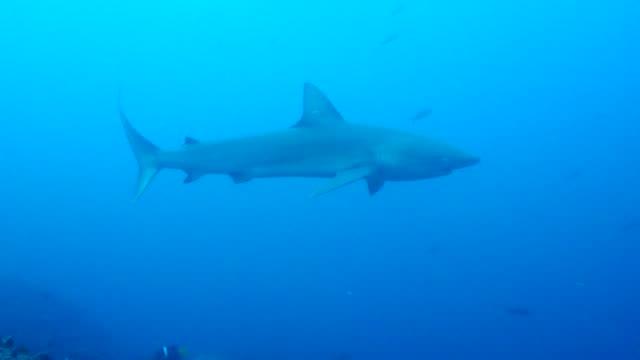 The Triaenodon obesus swimming in Galapagos Islands