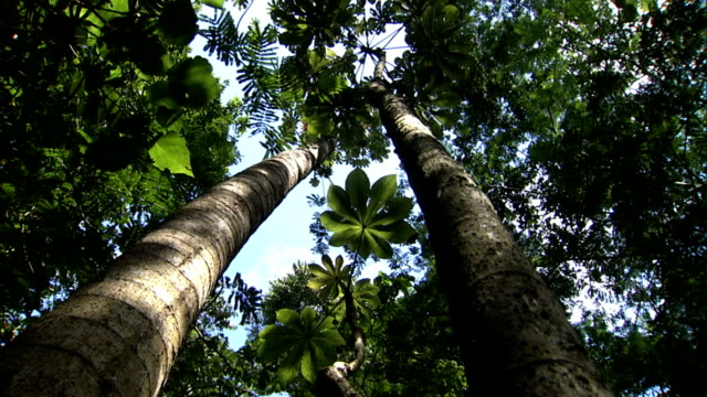the trunks of pumpwood trees show creases and scars. - scar stock videos & royalty-free footage