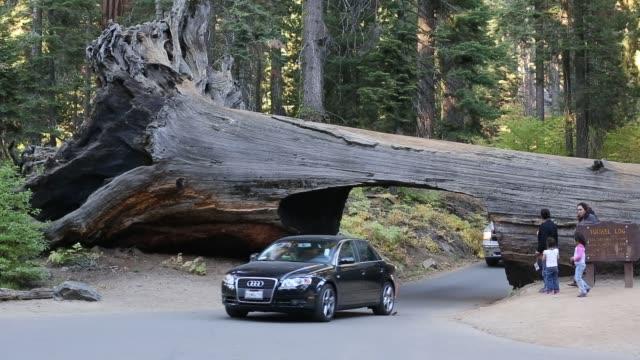vidéos et rushes de the tunnel log a fallen giant redwood or sequoia sequoiadendron giganteum in sequoia national park california usa - séquoia géant