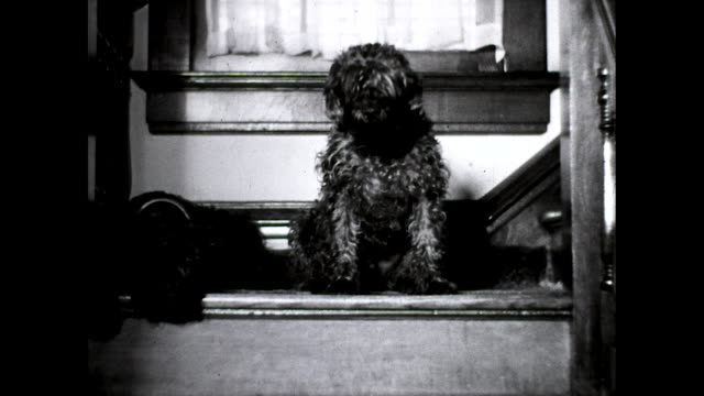 the two dogs are sitting on a couch cu of a curly haired black dog and another black dog - comfortable stock videos & royalty-free footage