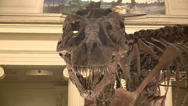wgn sue the tyrannosaurus rex skeleton on display at the chicago field museum on february 5 being dismantled in stanley field hall to be moved... - tierisches skelett stock-videos und b-roll-filmmaterial