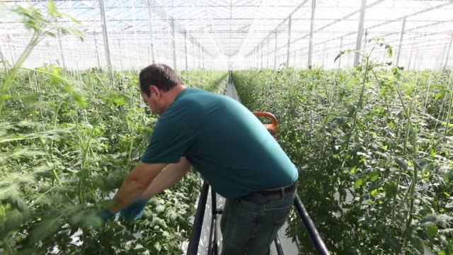 the uk's largest tomato nursery in ipswich, england, united kingdom on monday, march 4, 2019. - tomato stock videos & royalty-free footage