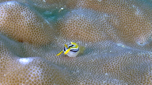 the underwater world of raja ampat, west papua, indonesia. - nudibranch stock videos & royalty-free footage