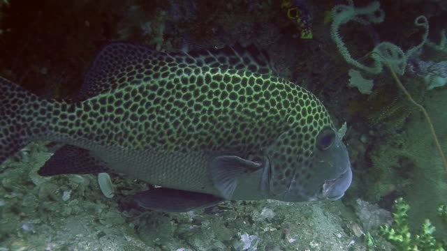 the underwater world of raja ampat, west papua, indonesia. - sweetlips stock videos & royalty-free footage