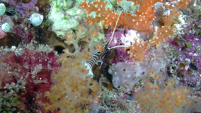 the underwater world of raja ampat, west papua, indonesia. - lobster stock videos and b-roll footage