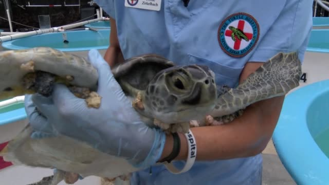 the us oldest sea turtle rescue and rehab facility is seeing a record number of patients especially in turtles with a type of herpes virus called... - herpes video stock e b–roll