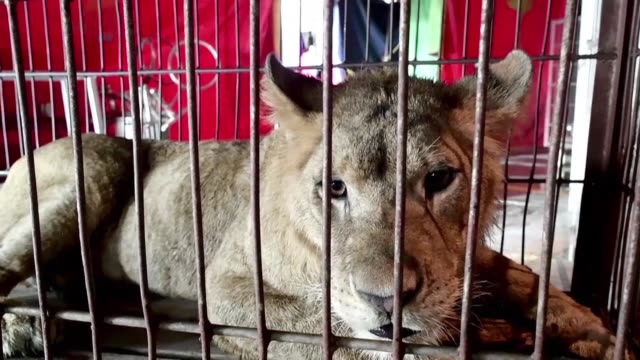The use of wild animals in circus shows has come under growing criticism around the world with some countries banning the practice but for some...