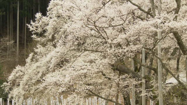 4k  the usuzumi-zakura in full blossom (an ancient edo higan cherry tree) - the march of time stock videos & royalty-free footage