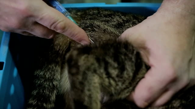 The veterinarian gives the sick cat an injection