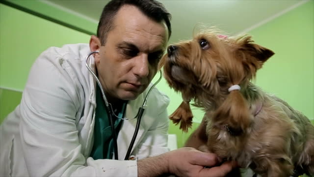 The veterinarian listens to the heartbeat to cute little dog in vet clinic