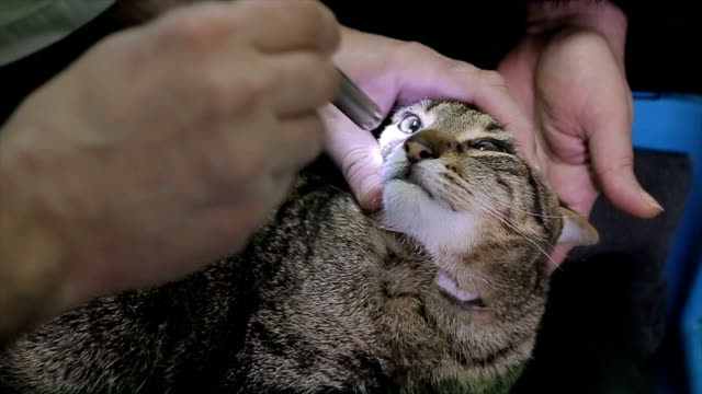 The veterinarian looks at the cat's eyes