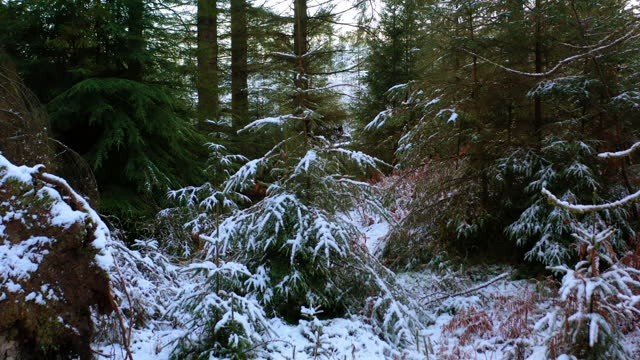 the view from a drone as it is flown into an area of forest covered in snow in dumfries and galloway south west scotland - evergreen stock videos & royalty-free footage