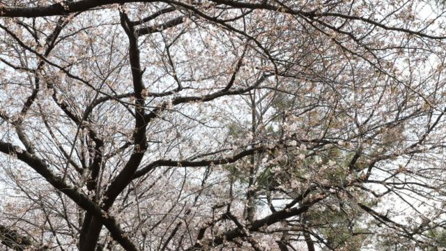 vídeos de stock, filmes e b-roll de the view tilts down from the top of the cherry blossom trees to the walking path where people are walking or just chilling one can hear the birds... - máscara cirúrgica
